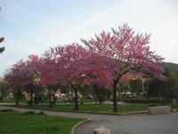 alberi fioriti nel giardino di Piazza della Repubblica e Monte Bonifato - 29 marzo 2010  - Alcamo (3307 clic)