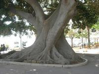 albero secolare nel giardino sul Lungomare Mazzini - 19 settembre 2010  - Mazara del vallo (1627 clic)