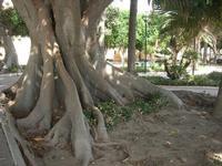 albero secolare nel giardino sul Lungomare Mazzini - 19 settembre 2010  - Mazara del vallo (1282 clic)