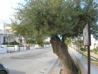 viale alberato - 19 settembre 2010  - Tre fontane (3469 clic)