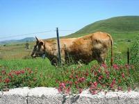 bovini al pascolo - 1 maggio 2010  - Vita (3280 clic)