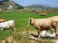 bovini al pascolo - 1 maggio 2010  - Vita (2986 clic)
