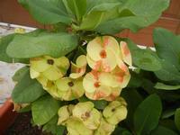 Euphorbia milii (chiamata anche corona di Cristo) - vaso fiorito - 25 settembre 2011  - Scopello (752 clic)