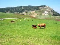 bovini al pascolo - 1 maggio 2010  - Vita (3265 clic)