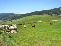 bovini al pascolo - 1 maggio 2010  - Vita (3353 clic)