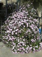 margheritone - 10 aprile 2011  - Alcamo (1051 clic)