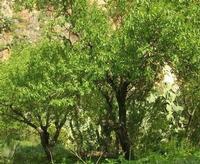 Le Grotte di Custonaci - mandorlo - 14 marzo 2010  - Custonaci (3383 clic)