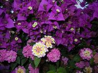 buganvillea ed altri fiori - 12 giugno 2011  - Alcamo (1329 clic)