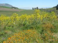 flora e panorama - 10 aprile 2011  - Segesta (951 clic)