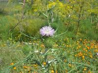 flora - 10 aprile 2011  - Segesta (1266 clic)