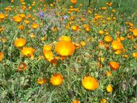 flora - 10 aprile 2011  - Segesta (1105 clic)