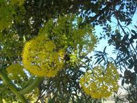 flora - 10 aprile 2011  - Segesta (1102 clic)