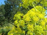 flora - 10 aprile 2011  - Segesta (1344 clic)