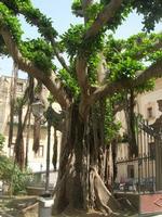 Villa Comunale - albero secolare - 11 maggio 2010  - Castellammare del golfo (1554 clic)