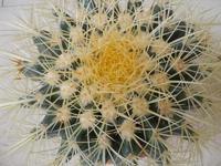 pianta grassa cuscinu di la soggira - 8 settembre 2010  - Alcamo (1612 clic)