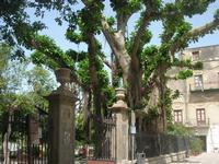 Villa Comunale - albero secolare - 11 maggio 2010  - Castellammare del golfo (1687 clic)