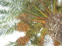 palma con datteri - 22 luglio 2010  - San vito lo capo (1770 clic)