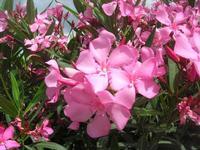 fiori di oleandro - area di servizio - 16 maggio 2010  - Scillato (4002 clic)