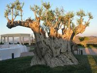 olivo - Parco Elimi - 26 giugno 2010  - Segesta (2485 clic)