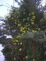 siepe gialla avviluppa un albero - 28 novembre 2010  - Scopello (1902 clic)
