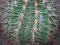 pianta grassa cuscinu di la soggira - 8 settembre 2010   - Alcamo (1586 clic)