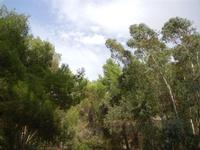 alberi nel parcheggio - Terme Acquapia - 4 settembre 2011  - Montevago (1780 clic)