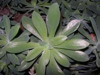pianta grassa - 8 settembre 2010  - Alcamo (1342 clic)