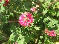 fiore di sulla - 31 marzo 2010  - Cornino (4411 clic)
