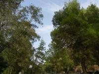alberi nel parcheggio - Terme Acquapia - 4 settembre 2011  - Montevago (1756 clic)