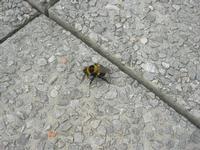 calabrone - 14 dicembre 2010  - Castellammare del golfo (1065 clic)