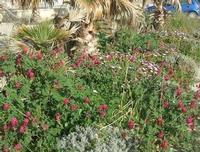 fiori di sulla - 31 marzo 2010  - Cornino (4640 clic)
