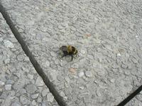 calabrone - 14 dicembre 2010  - Castellammare del golfo (1056 clic)