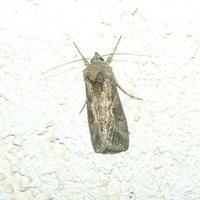 farfalla notturna parpagghiuni - 8 settembre 2010   - Alcamo (3774 clic)