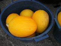 meloni gialli al Belvedere - 28 agosto 2010  - Macari (4010 clic)