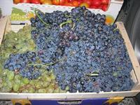 uva bianca e nera al Belvedere - 28 agosto 2010  - Macari (4580 clic)