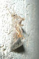 farfalla notturna parpagghiuni - 8 settembre 2010   - Alcamo (2441 clic)