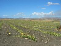 campo di meloni gialli - 31 agosto 2010  - Poggioreale (3298 clic)