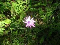 fiore nel sottobosco - pineta - Santuario Madonna del Romitello - 10 aprile 2011  - Borgetto (1703 clic)
