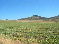 campo di meloni gialli - 31 agosto 2010  - Poggioreale (3443 clic)