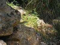 lucertola nel sottobosco - pineta - Santuario Madonna del Romitello - 10 aprile 2011  - Borgetto (1556 clic)