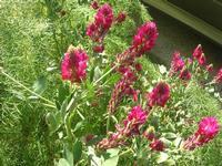 fiori di sulla - 10 aprile 2011  - Calatafimi segesta (1235 clic)
