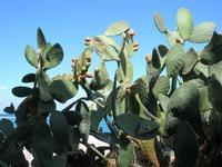 fichidindia - 12 settembre 2010  - Castellammare del golfo (1437 clic)