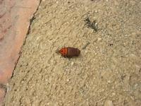 punteruolo rosso: il killer delle palme - 27 novembre 2010  - Castellammare del golfo (1278 clic)