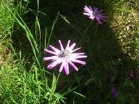 fiori nel sottobosco - pineta - Santuario Madonna del Romitello - 10 aprile 2011  - Borgetto (1764 clic)