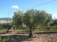 oliveto - 31 agosto 2010  - Sambuca di sicilia (2911 clic)