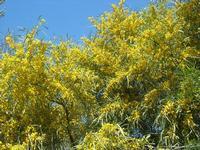 mimosa - 10 aprile 2011  - Calatafimi segesta (1136 clic)