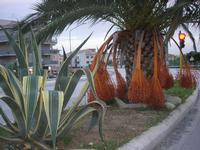 aiuola spartitraffico con agave e palama - 28 novembre 2010  - Castellammare del golfo (1565 clic)