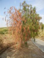 albero falsopepe semibruciato - Terme Acquapia - 4 settembre 2011  - Montevago (1771 clic)