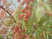 albero falsopepe - particolare - Terme Acquapia - 4 settembre 2011  - Montevago (936 clic)