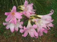 gigli nel giardino del Belvedere - 10 ottobre 2010  - Castellammare del golfo (1442 clic)